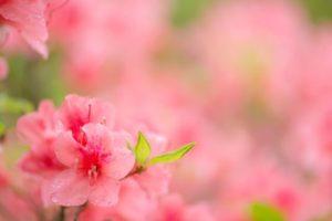 滑川市の花木ツツジ
