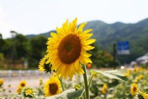 平谷村の花ヒマワリ