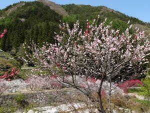 花桃の里阿智村