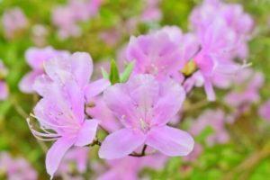 飯田市の花ミツバツツジ