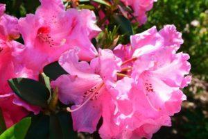 飯島町の花シャクナゲ