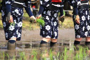 壬生の花田植の風景
