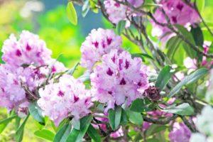 北山村の花 シャクナゲ
