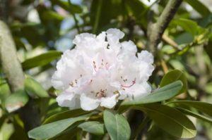 阿南町の花シャクナゲ