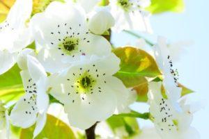松川町の花 梨