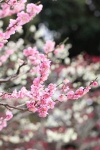 宮田村の花ウメ