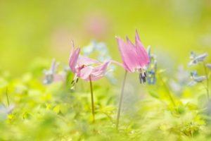 朝日村の花カタクリ