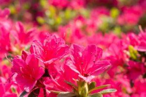 生坂村の花 ツツジ