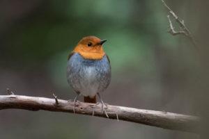 売木村の鳥コマドリ