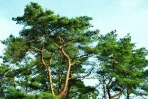 朝日村の木アカマツ