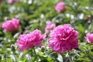 中野市の花シャクヤク
