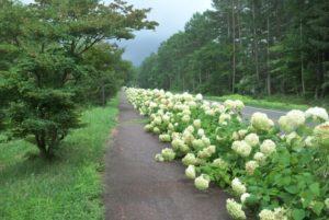 原村紫陽花の道