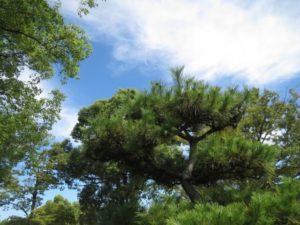 松川町の木マツ