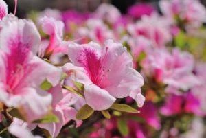 舟橋村の花サツキ