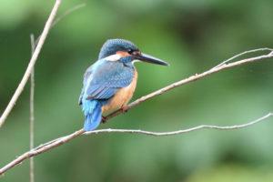 琴浦町の鳥 カワセミ