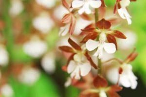 松野町の花 エビネ