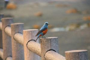 中土佐町の鳥イソヒヨドリ