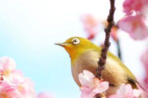 奈半利町の鳥メジロ