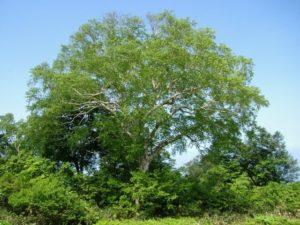 初夏の野沢温泉村 樺の木