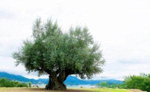 土庄町 オリーブの大樹