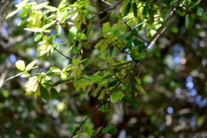 上島町の木 ウバメガシ