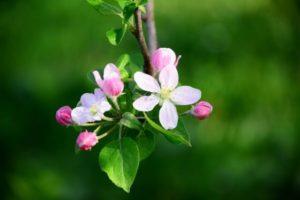 小布施町の花リンゴ