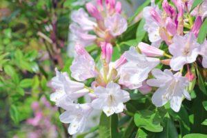 大川村の花シャクナゲ