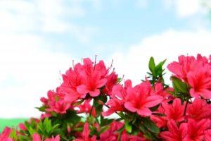 八頭町の花 さつき