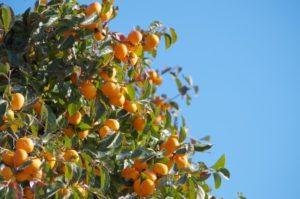 八頭町の木 柿