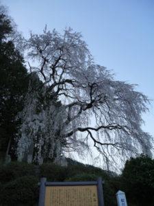 松川村 鼠石のしだれ桜