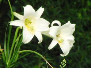 矢巾町の花 ユリ