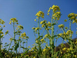 三川町の花 菜の花