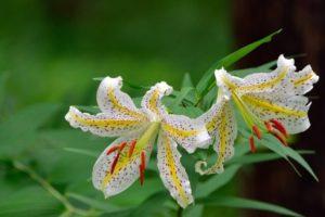 滝沢市の花 ヤマユリ