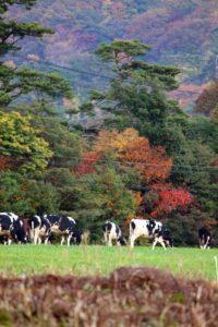 伯耆町 放牧の風景