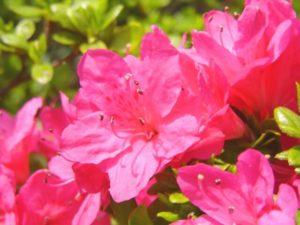 金ケ崎町の花 サツキ
