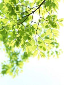 三川町の木 ケヤキ
