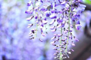 藤崎町の花 フジ