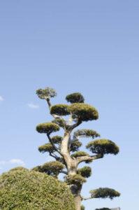 蓬田村の木 黒松