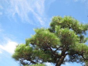 矢巾町の木マツ