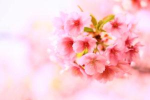 雲南市の花 さくら