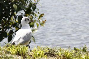 大槌町の鳥 カモメ