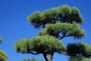 光市の木 クロマツ