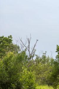 湯川村の鳥 カッコウ