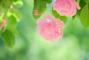 潟上市の花 バラ