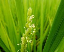 田舎館村の花 イネ