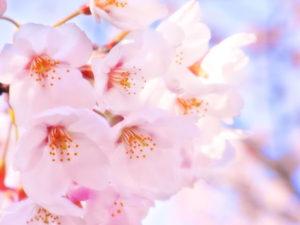 登米市の花 サクラ