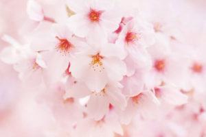井川町の花 サクラ