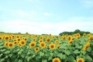 大崎市の花 ひまわり