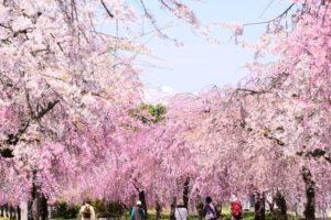 喜多方市 枝垂れ桜の風景