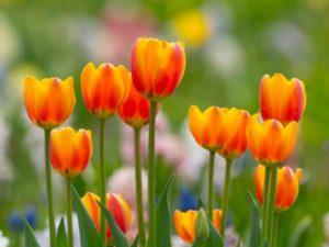 入善町の花 チューリップ